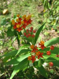 Image of Asclepias curassavica