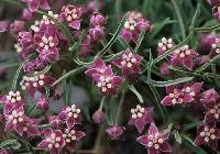 Image of Asclepias uncialis